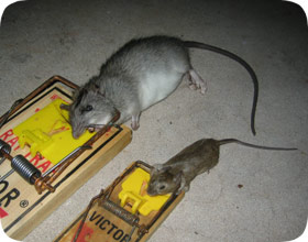 how to make a rat trap that doesn& 39